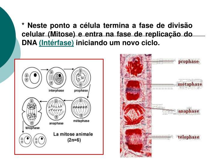 * Neste ponto a célula termina a fase de divisão celular (Mitose) e entra na fase de replicação do DNA