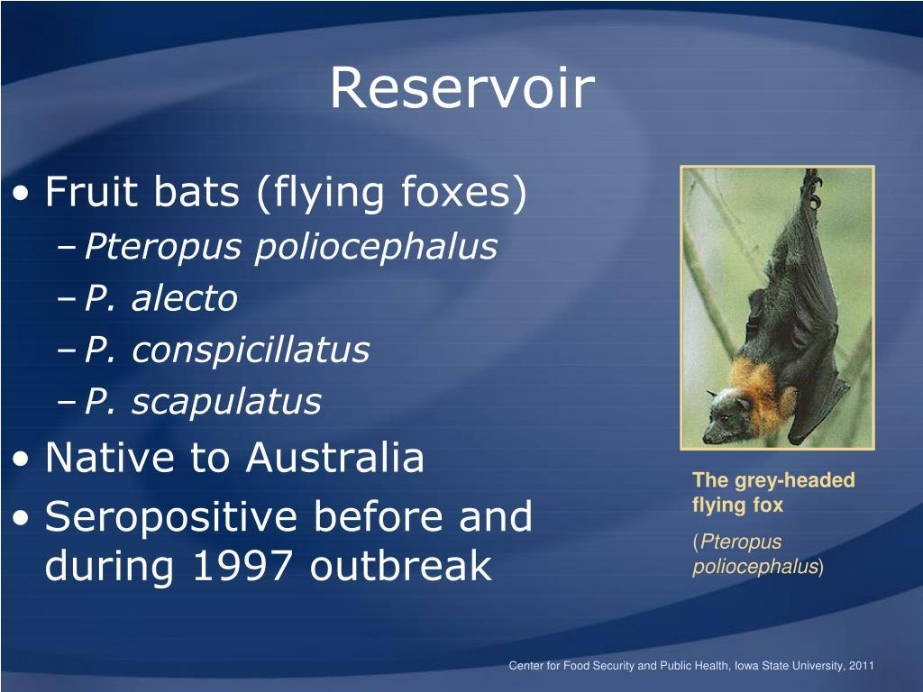 Fruit bats (flying foxes)