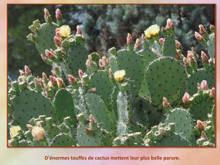 D'énormes touffes de cactus mettent leur plus belle parure.