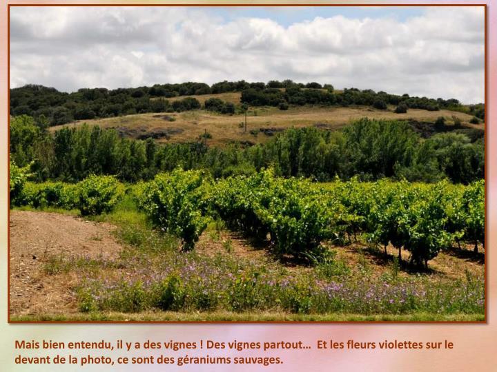 Mais bien entendu, il y a des vignes ! Des vignes partout…  Et les fleurs violettes sur le devant de la photo, ce sont des géraniums sauvages.