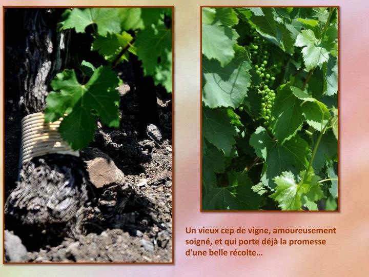 Un vieux cep de vigne, amoureusement soigné, et qui porte déjà la promesse d'une belle récolte…