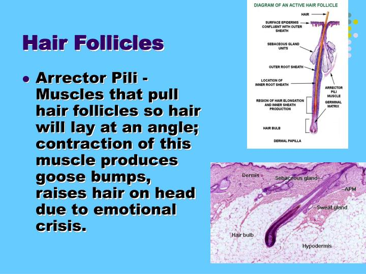Hair Follicles