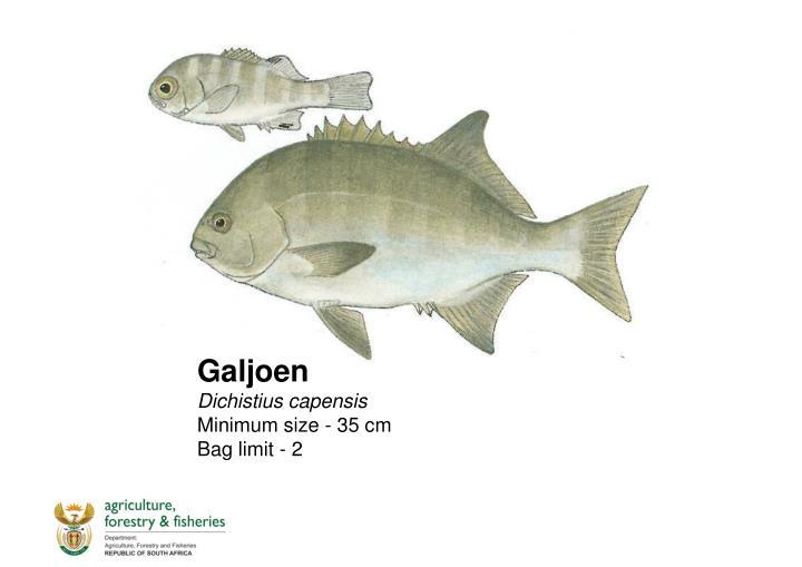 Galjoen