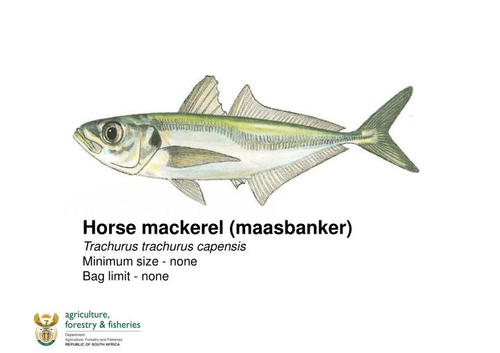 Horse mackerel (