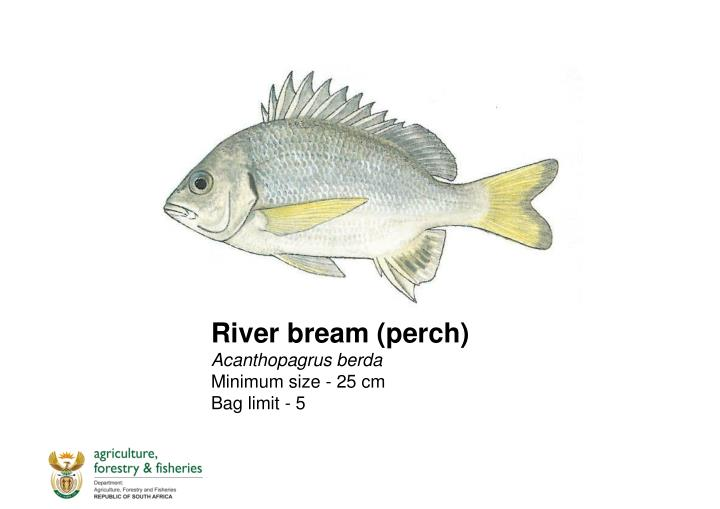 River bream (perch)