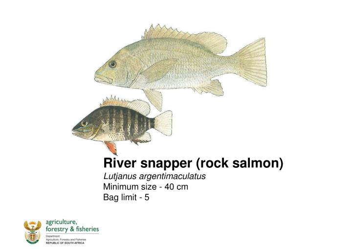 River snapper (rock salmon)