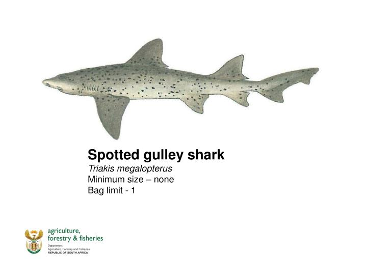 Spotted gulley shark