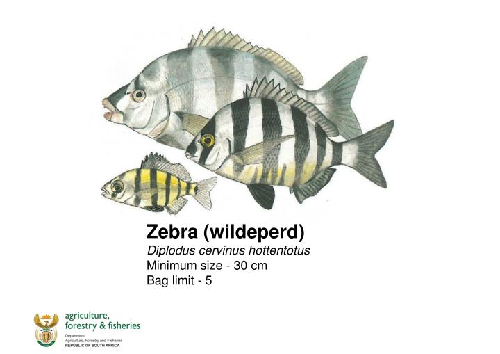 Zebra (