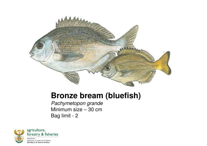 Bronze bream (bluefish)