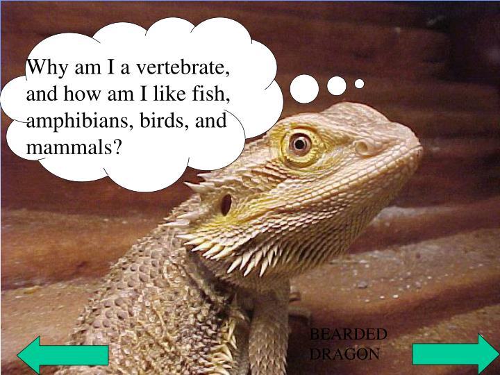 Why am I a vertebrate, and how am I like fish, amphibians, birds, and               mammals?