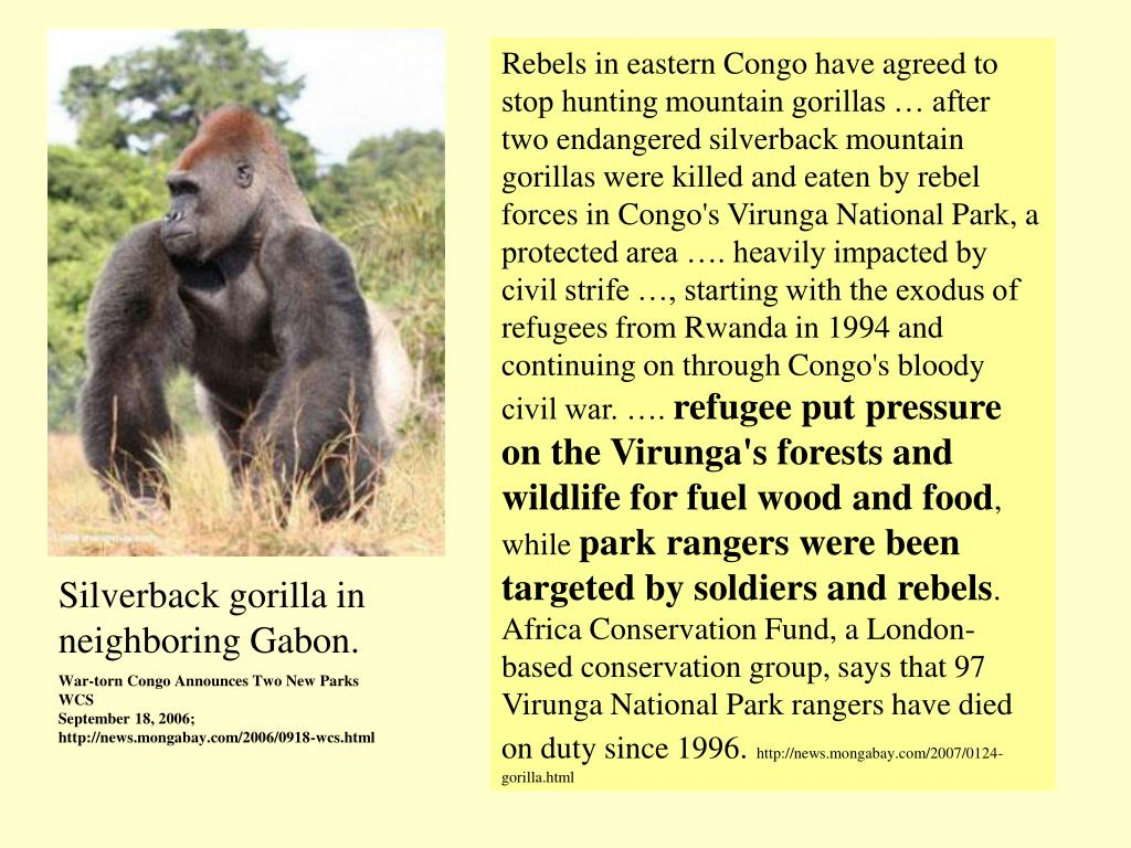 Rebels in eastern Congo have agreed to stop hunting mountain gorillas … after two endangered silverback mountain gorillas were killed and eaten by rebel forces in Congo's Virunga National Park, a protected area …. heavily impacted by civil strife …, starting with the exodus of refugees from Rwanda in 1994 and continuing on through Congo's bloody civil war. ….