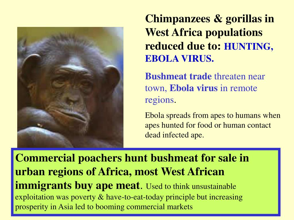 Chimpanzees & gorillas in West Africa populations reduced due to: