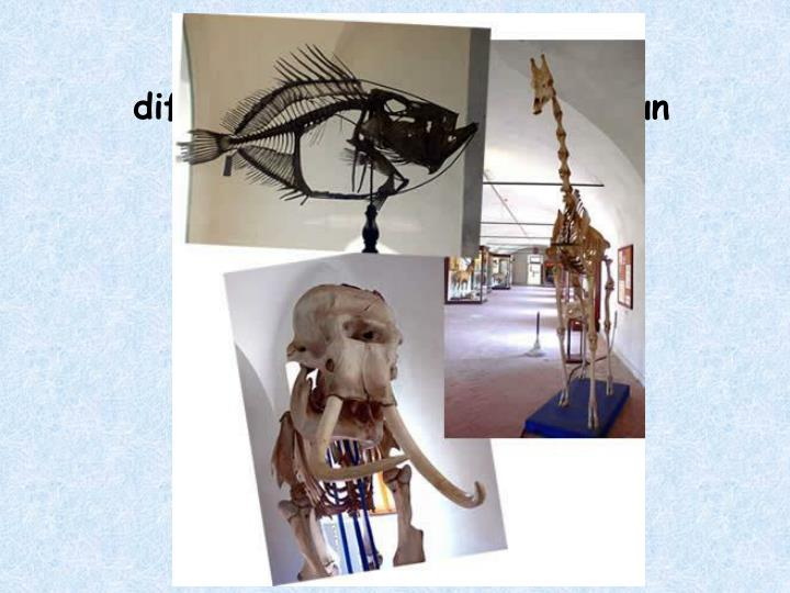 Al livello di scheletro, che differenza c'è fra un pesce, un elefante e una giraffa?