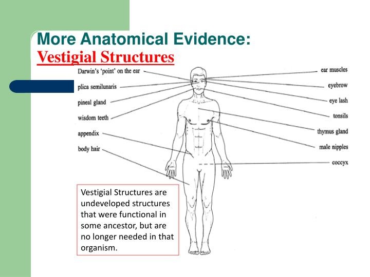 More Anatomical Evidence:
