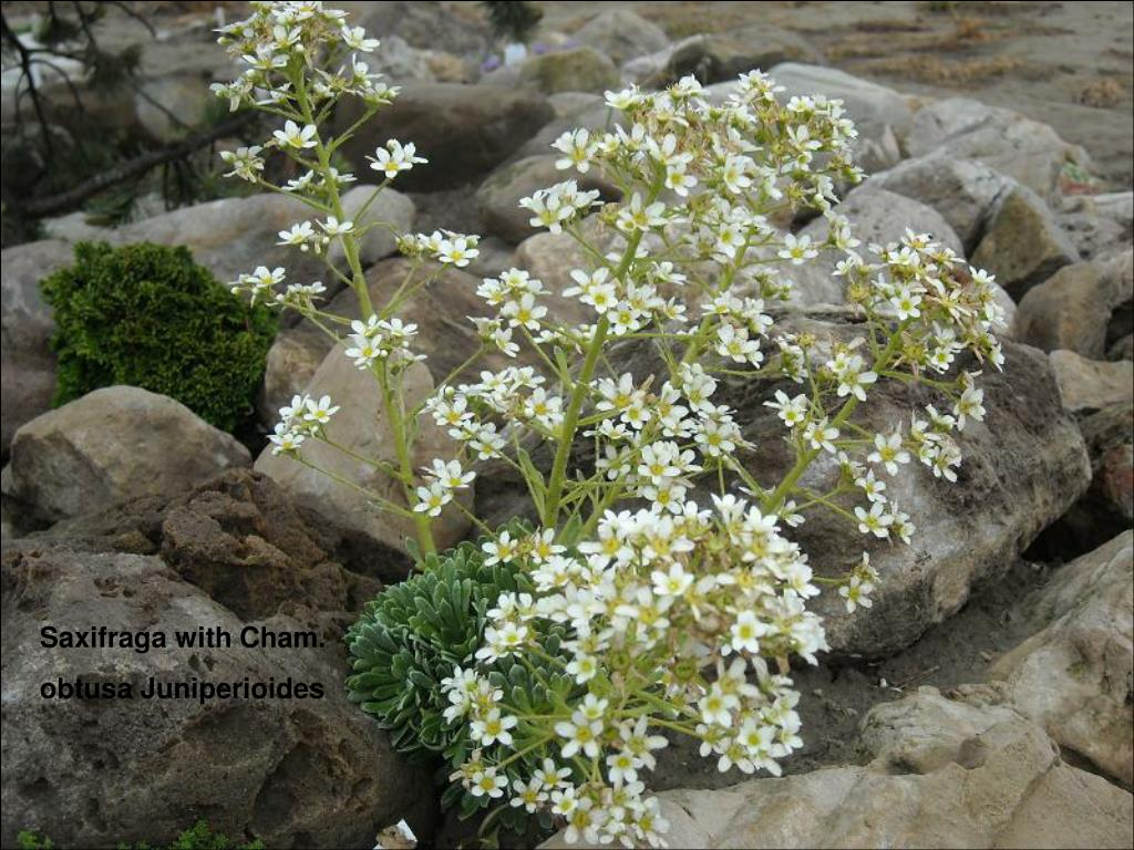 Saxifraga with Cham.