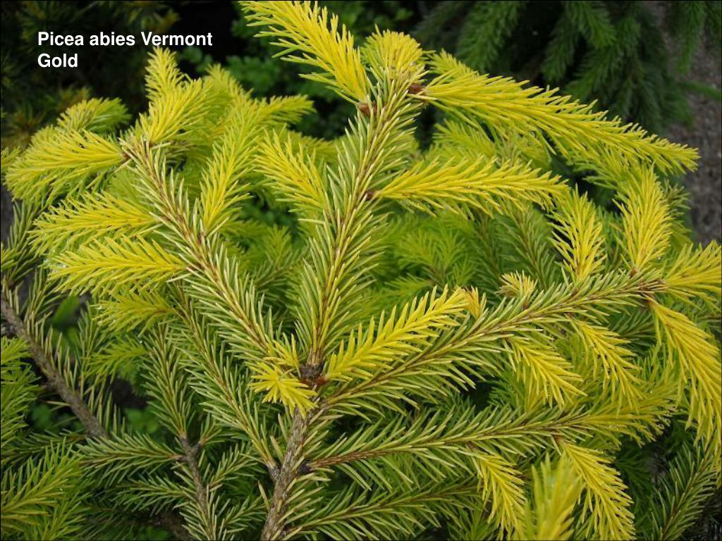Picea abies Vermont Gold