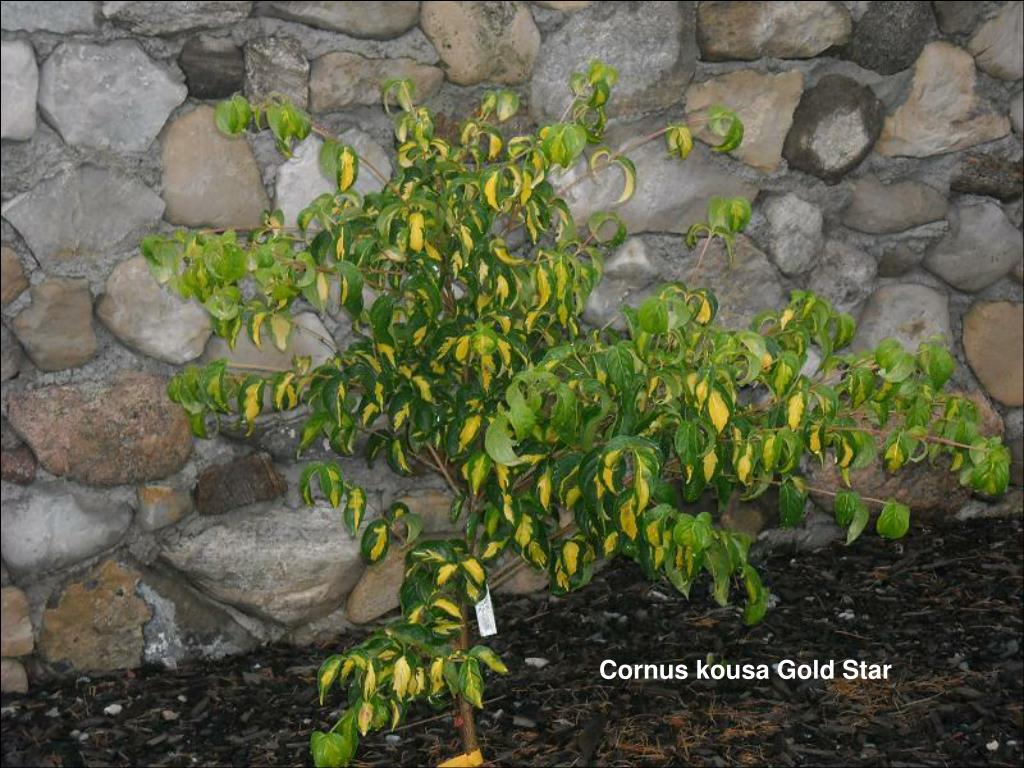 Cornus kousa Gold Star