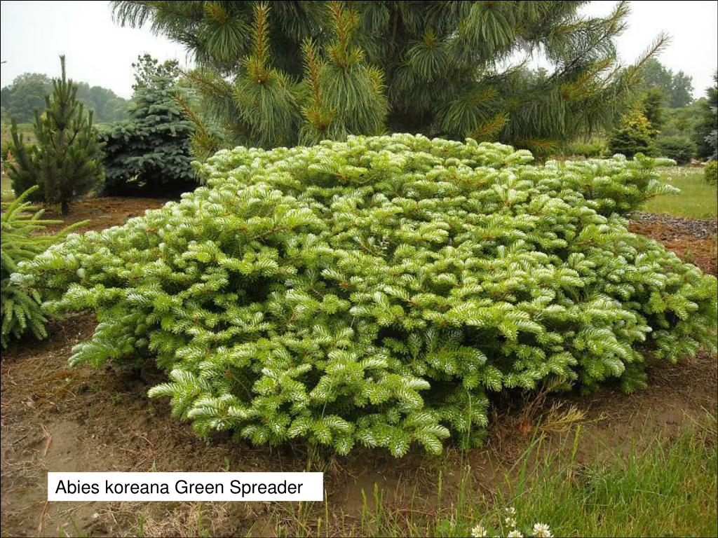 Abies koreana Green Spreader