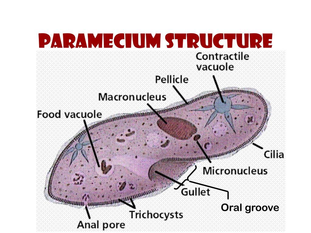Paramecium structure