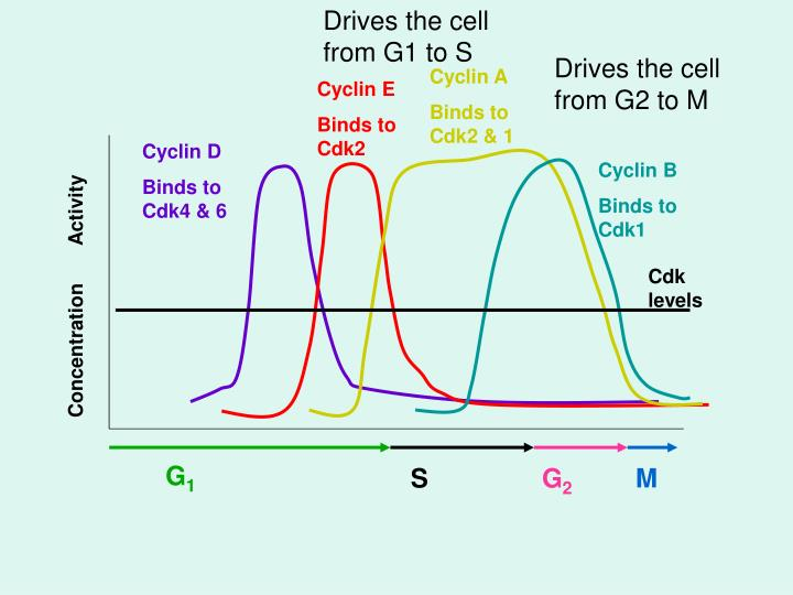 Drives the cell from G1 to S