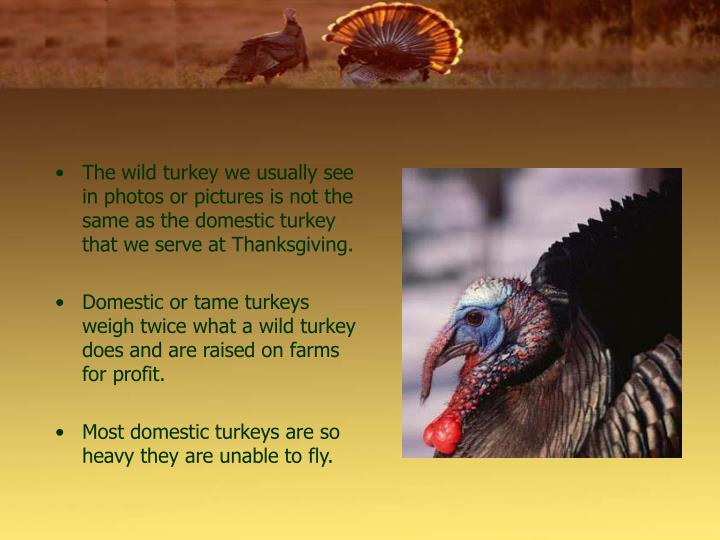 The wild turkey we usually see in photos or pictures is not the same as the domestic turkey that we serve at Thanksgiving.