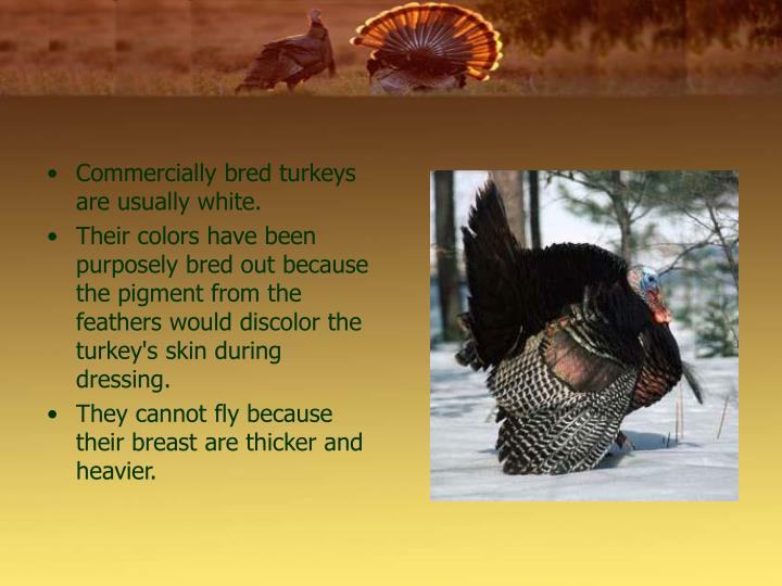 Commercially bred turkeys are usually white.