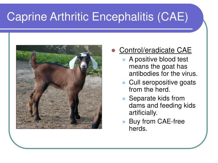 Control/eradicate CAE