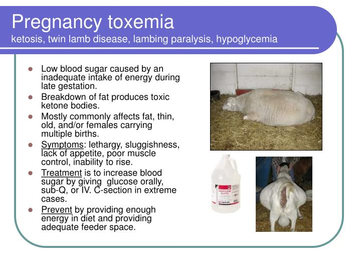 Low blood sugar caused by an inadequate intake of energy during late gestation.