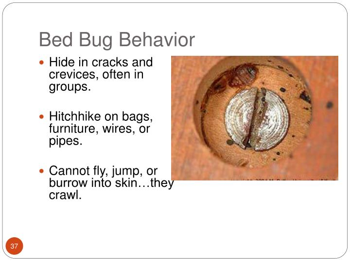 Bed Bug Behavior