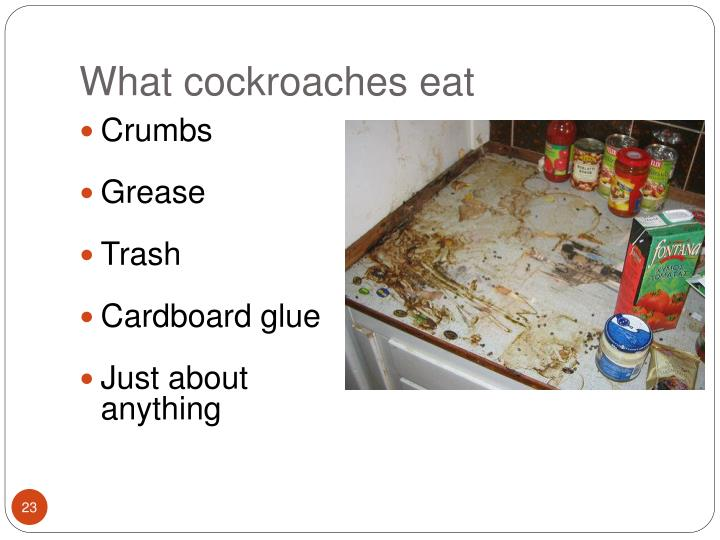 What cockroaches eat