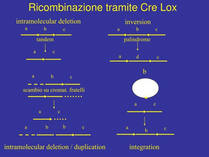 Ricombinazione tramite Cre Lox