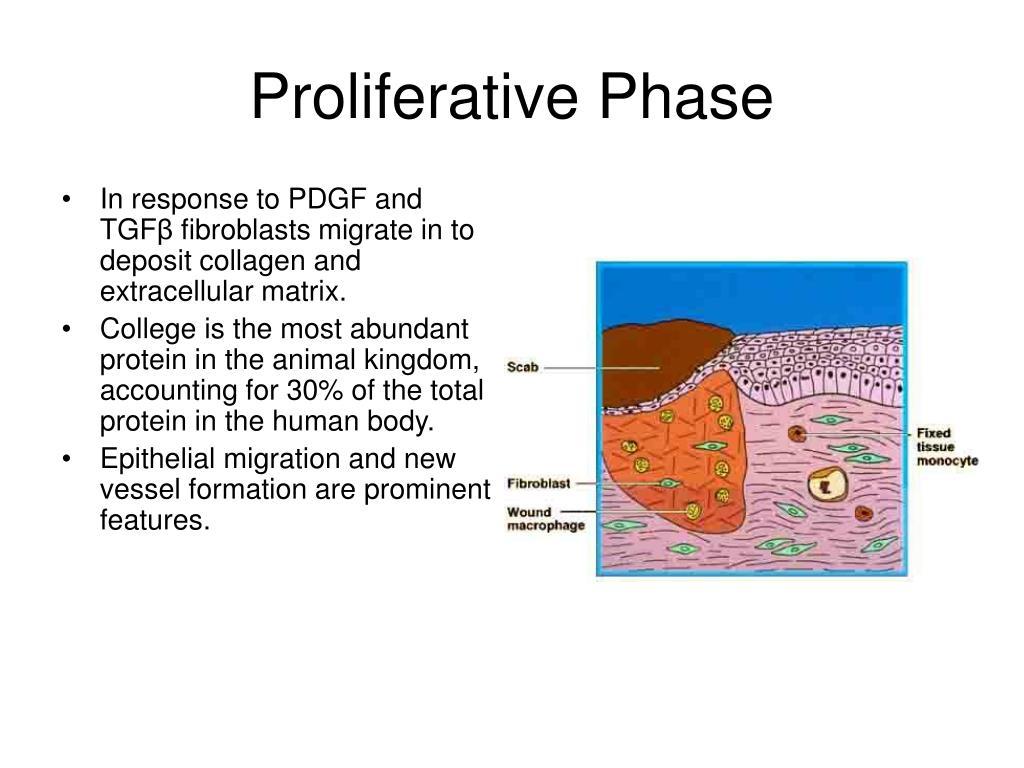 Proliferative Phase