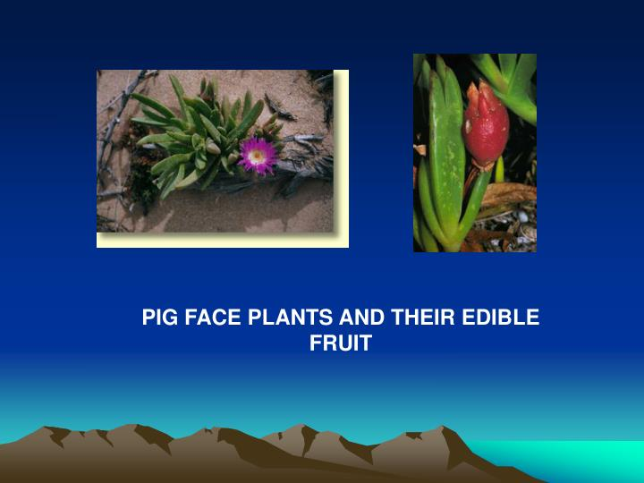 PIG FACE PLANTS AND THEIR EDIBLE FRUIT