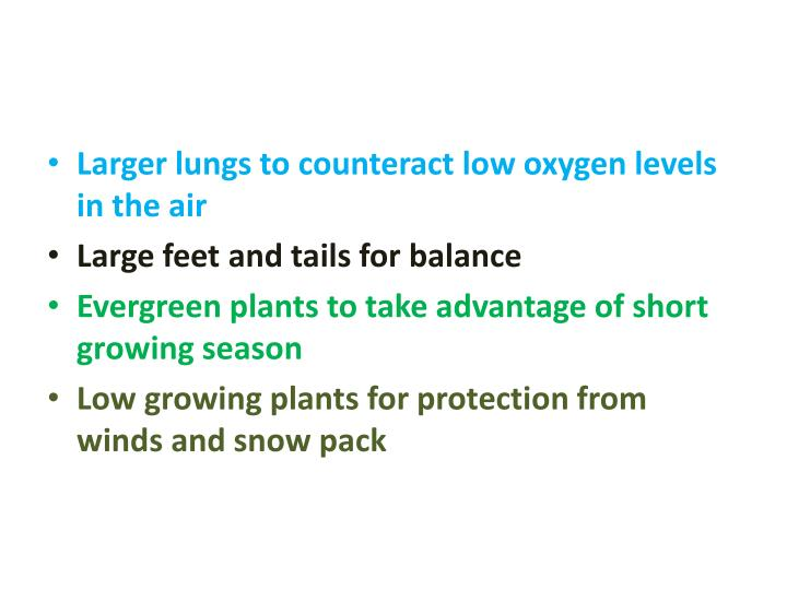 Larger lungs to counteract low oxygen levels in the air