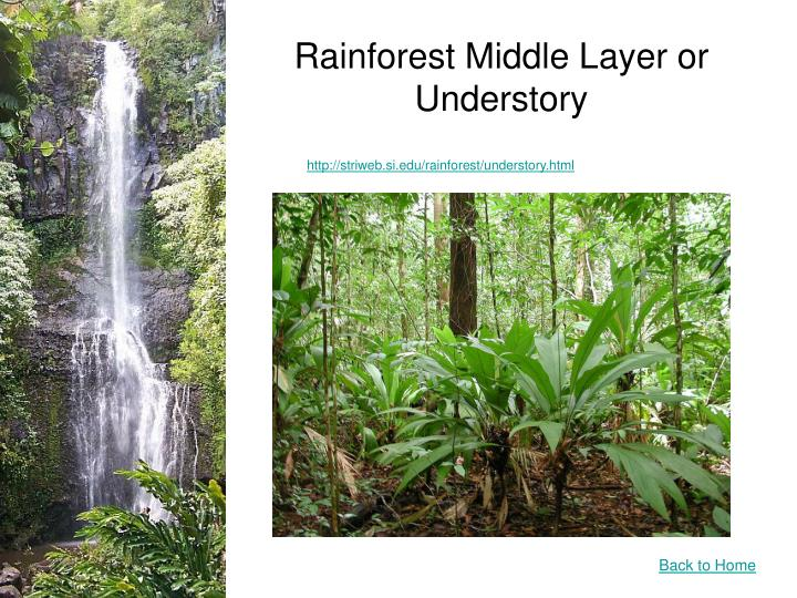 Rainforest Middle Layer or Understory