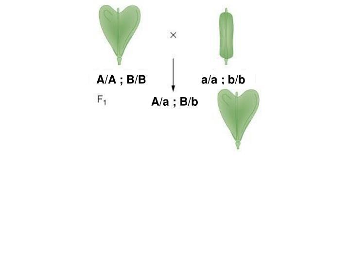 A/A ; B/B