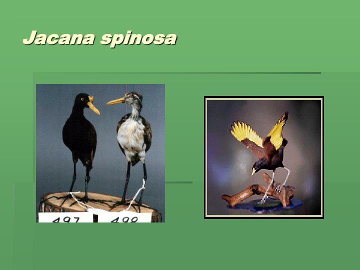 Jacana spinosa