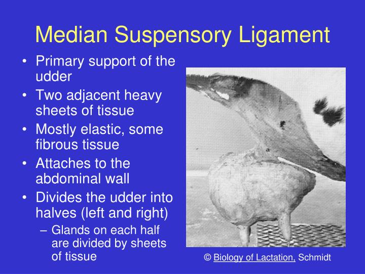 Median Suspensory Ligament