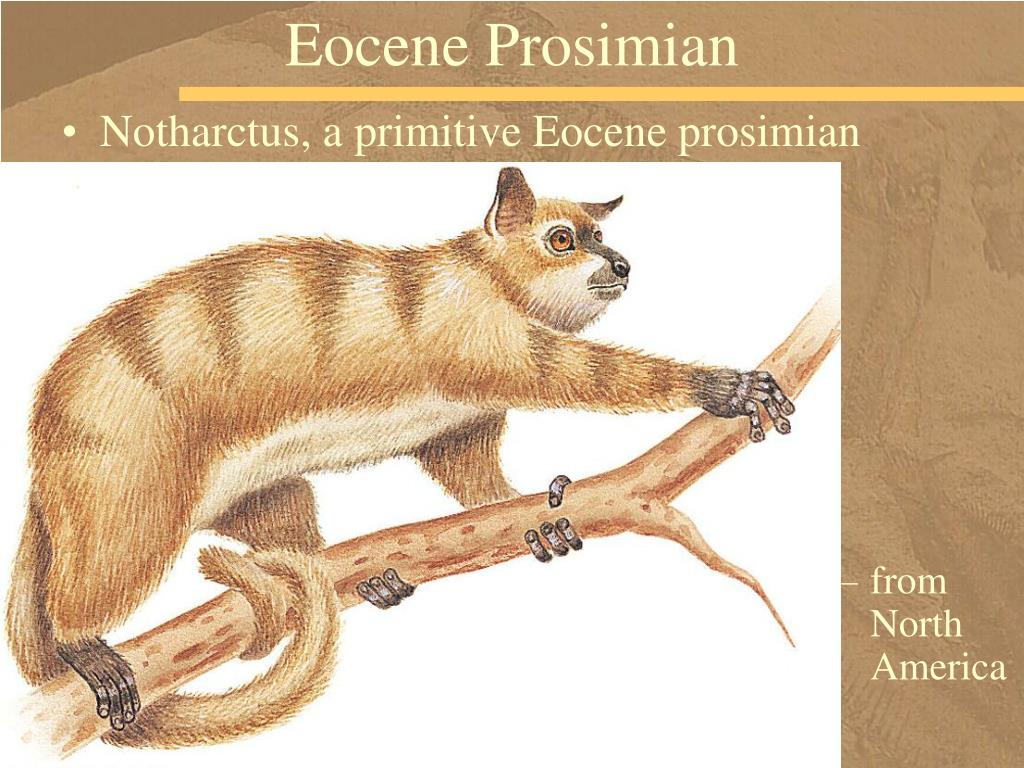 Eocene Prosimian