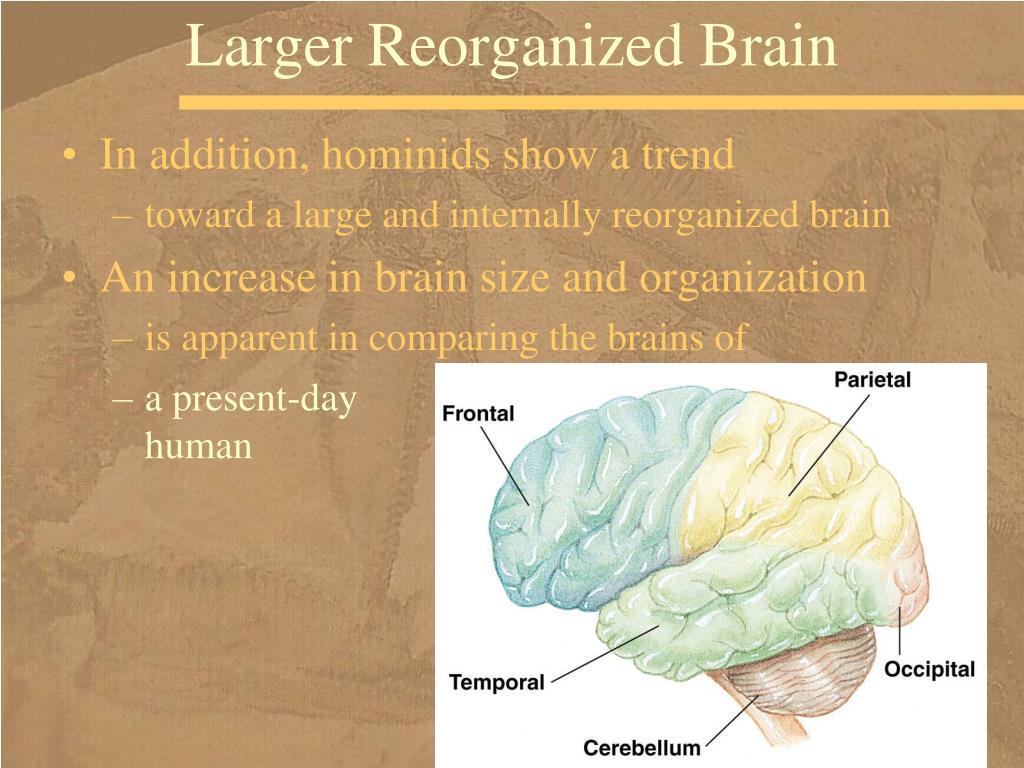 Larger Reorganized Brain