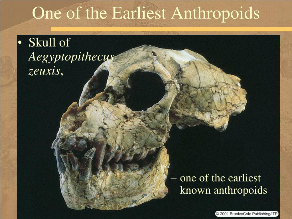One of the Earliest Anthropoids