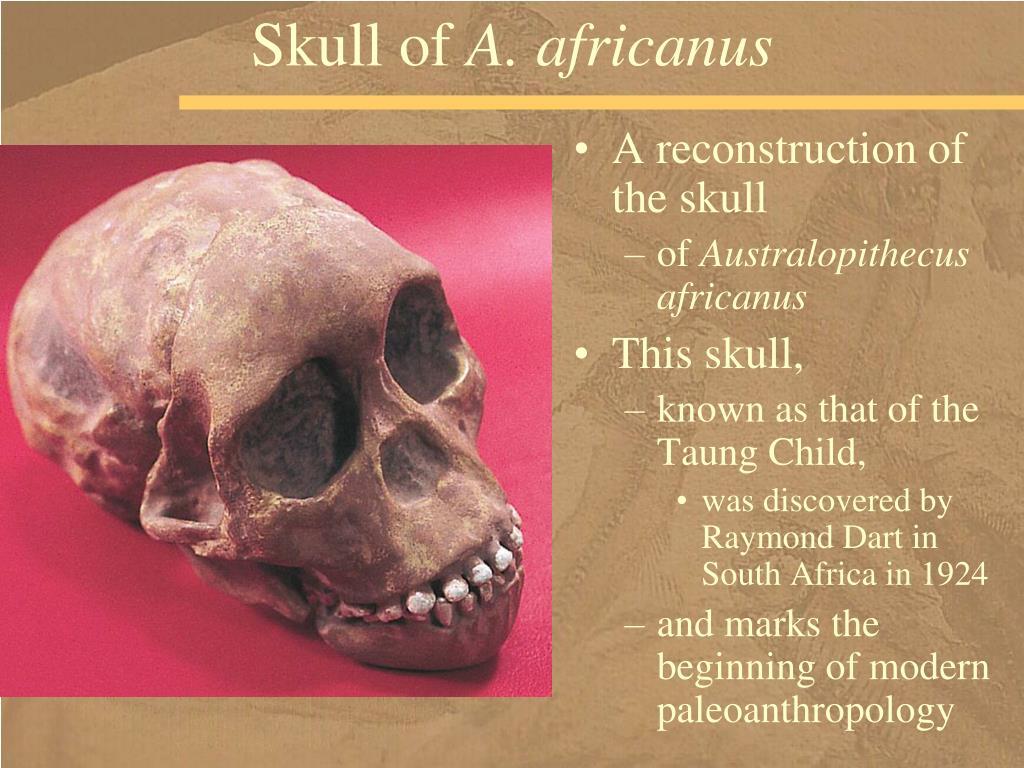 Skull of