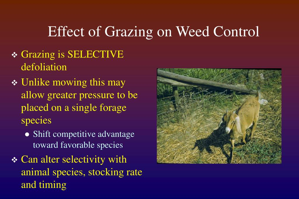 Effect of Grazing on Weed Control