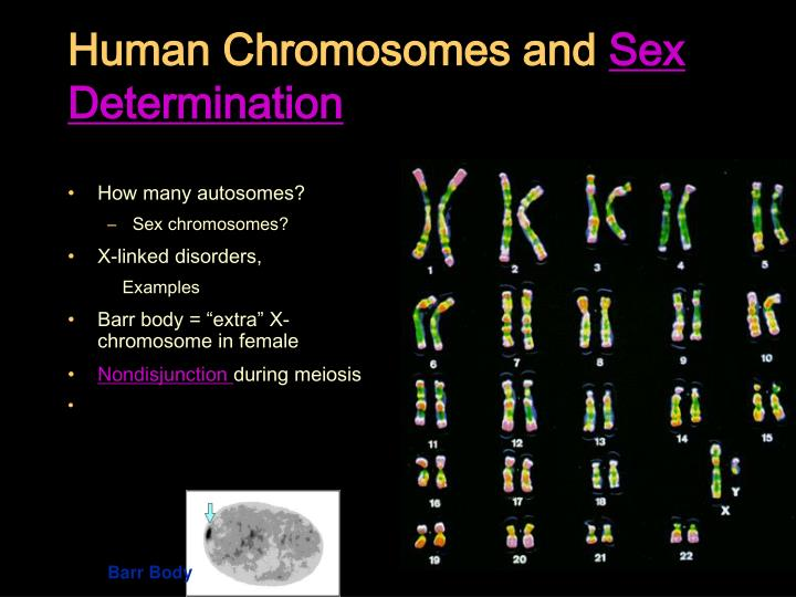 Human chromosomes and sex determination