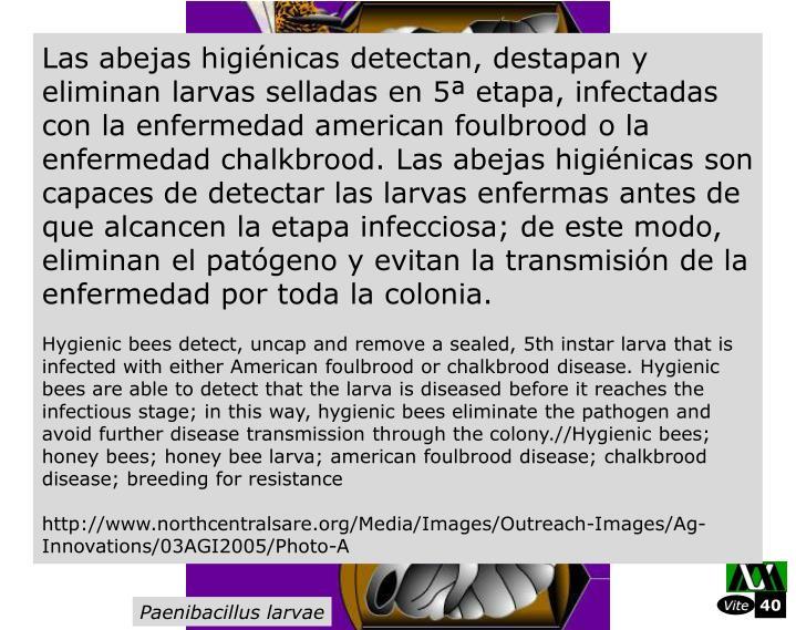Las abejas higinicas detectan, destapan y eliminan larvas selladas en 5 etapa, infectadas con la enfermedad american foulbrood o la enfermedad chalkbrood. Las abejas higinicas son capaces de detectar las larvas enfermas antes de que alcancen la etapa infecciosa; de este modo, eliminan el patgeno y evitan la transmisin de la enfermedad por toda la colonia.