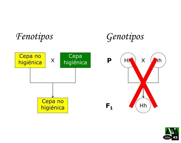 Fenotipos