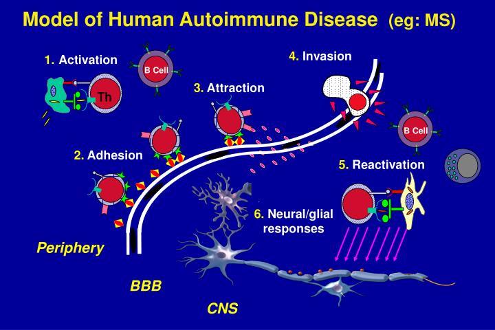 Model of Human Autoimmune Disease