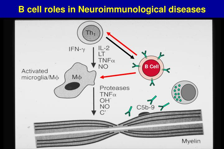 B cell roles in Neuroimmunological diseases