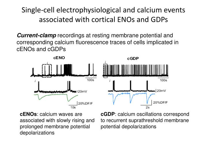 Single-cell electrophysiological and calcium events associated with cortical ENOs and GDPs