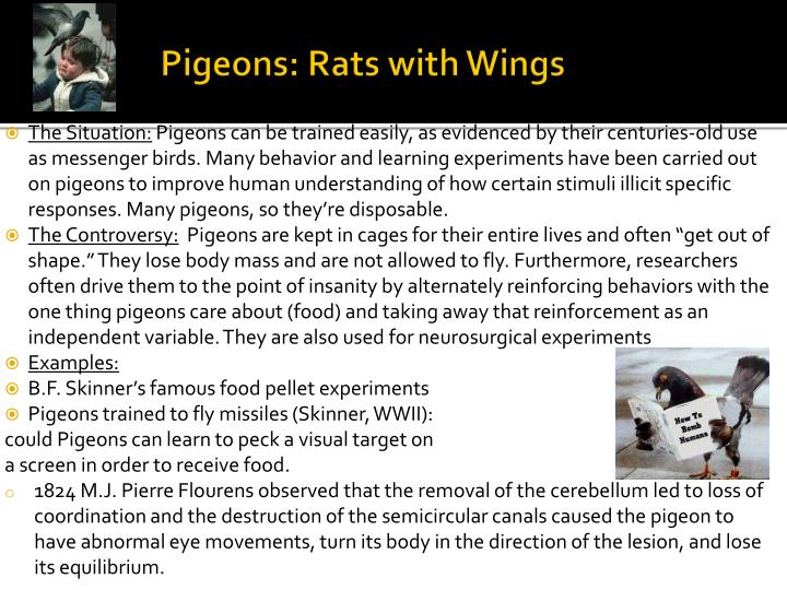 Pigeons: Rats with Wings